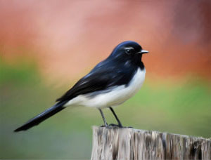 Willie Wagtail Bird